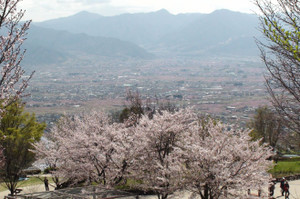 Sakuramomo2